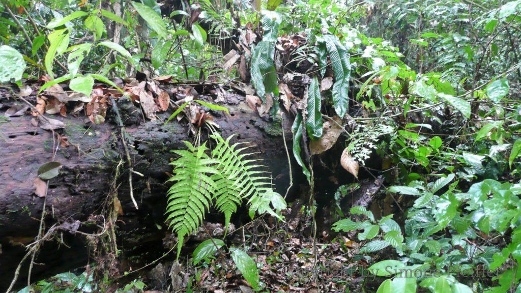 Borneo, Danum Valley, tropischer Tieflandregenwald.