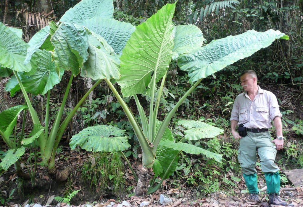 Borneo, Danum Valley, ein Spaziergang im Regenwald.